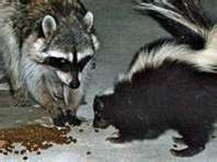 Skunk & Raccoon.jpg